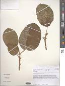 view Ficus lutea Vahl digital asset number 1