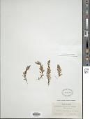 view Hymenophyllum fragile (Hedw.) C.V. Morton digital asset number 1