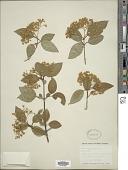 view Viburnum prunifolium L. digital asset number 1
