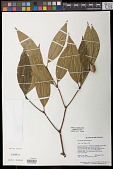 view Palicourea apoda (Steyerm.) Delprete & J.H. Kirkbr. digital asset number 1