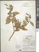view Monnina evonymoides Schltdl. digital asset number 1