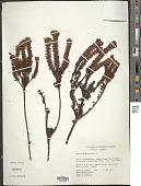 view Hypericum mexicanum L. digital asset number 1