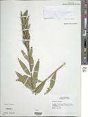 view Oenothera biennis L. digital asset number 1