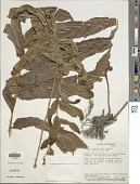 view Meniscium serratum Cav. digital asset number 1
