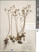 view Saxifraga occidentalis S. Watson digital asset number 1