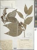 view Palicourea colorata (Hoffmanns. ex Roem. & Schult.) Delprete & J.H. Kirkbr. digital asset number 1