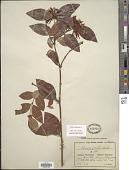 view Carissa spinarum L. digital asset number 1