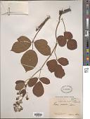 view Rubus erraticus Sudre digital asset number 1
