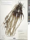 view Fimbristylis spadicea (L.) Vahl digital asset number 1