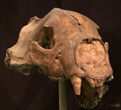 view Arctodus simus (Cope) digital asset number 1