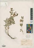 view Lathyrus pedunculatus H. St. John digital asset number 1