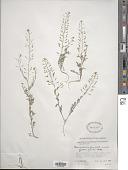 view Descurainia pinnata subsp. glabra (Wooton & Standl.) Detling digital asset number 1