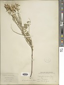 view Astragalus eremiticus var. malheurensis (A. Heller) Barneby digital asset number 1