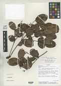 view Myrcia subcordifolia B.K. Holst & M. L. Kawas. digital asset number 1
