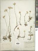 view Antennaria dioica (L.) Gaertn. digital asset number 1