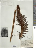 view Alsophila tahitensis Brack. in Wilkes digital asset number 1