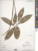 view Arisaema dracontium (L.) Schott digital asset number 1
