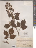 view Rubus contractus digital asset number 1