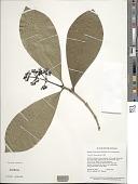 view Rudgea hostmanniana Benth. var. hostmanniana digital asset number 1