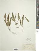 view Lellingeria apiculata (Kunze ex Klotzsch) A.R. Sm. & R.C. Moran digital asset number 1