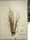 view Carex convoluta Mack. digital asset number 1