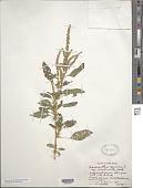 view Amaranthus spinosus var. viridicaulis Hassk. digital asset number 1