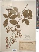 view Rubus valdelaxus Sudre digital asset number 1
