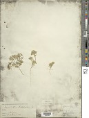 view Monoptilon bellioides (A. Gray) H.M. Hall digital asset number 1