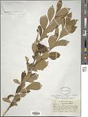 view Lyonia ligustrina var. ligustrina digital asset number 1
