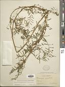view Schrankia microphylla J.F. Macbr. digital asset number 1