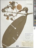 view Schizocalyx bracteosus Wedd. digital asset number 1