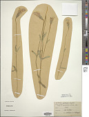 view Gentiana elegans A. Nelson digital asset number 1