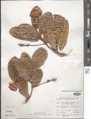 view Ruizia blackburniana (Bojer ex Baker) Dorr digital asset number 1