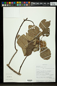 view Hibiscus ellisii Baker digital asset number 1