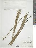view Equisetum ramosissimum subsp. debile (Roxb. ex Vaucher) Hauke digital asset number 1