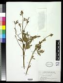 view Crotalaria micans Link digital asset number 1