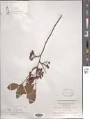 view Aronia arbutifolia (L.) Pers. var. arbutifolia digital asset number 1