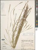 view Axonopus fastigiatus (Nees ex Trin.) Kuhlm. digital asset number 1