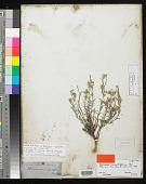 view Heliotropium angustifolium Torr. in Emory digital asset number 1