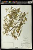 view Euphorbia multiseta Benth. digital asset number 1