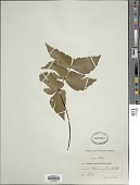 view Adiantum macrophyllum Sw. digital asset number 1