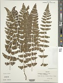 view Dryopteris cristata (L.) A. Gray digital asset number 1