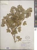 view Ribes aureum Pursh digital asset number 1