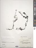 view Cladocolea harlingii Kuijt digital asset number 1