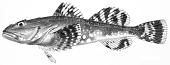 view Myoxocephalus batrachoides digital asset number 1