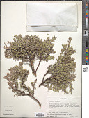 view Maytenus disticha (Hook. f.) Urb. digital asset number 1