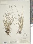 view Carex scirpoidea Michx. subsp. scirpoidea digital asset number 1