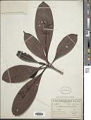 view Remijia macrocnemia (Mart.) Wedd. digital asset number 1