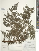 view Lastreopsis killipii (C. Chr. & Maxon) Tindale digital asset number 1