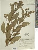 view Solanum argentinum Bitter & Lillo digital asset number 1